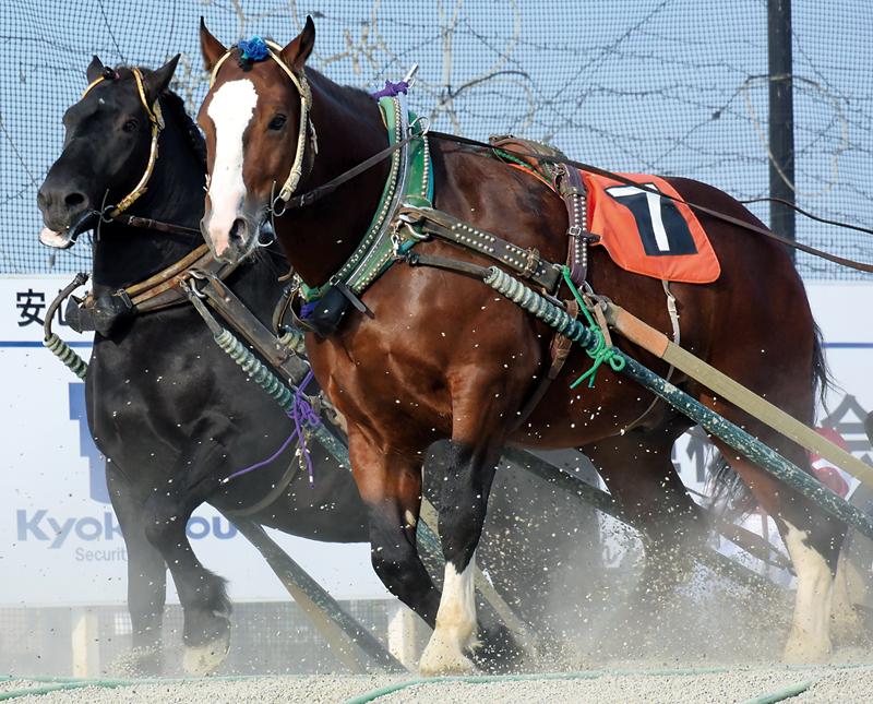 banei-obihiro-chevaux-japonais-zoomjapon78