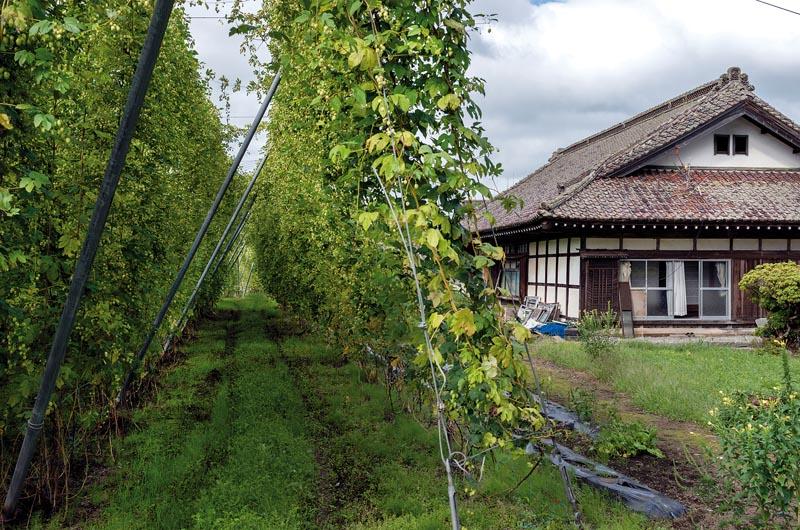 RÈcolte de houblonTÙnoDÈpartement d'Iwate